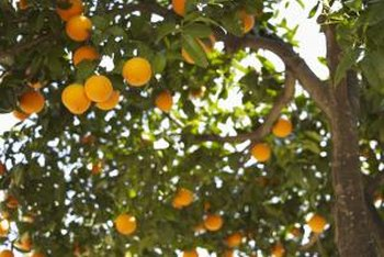 Organic citrus trees are free of pesticides and chemicals.