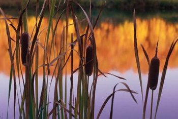 Some plants that grow alongside ponds have an invasive tendency.