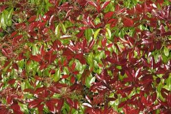 Red-fruiting shrubs like the photinia add color and texture to landscapes.