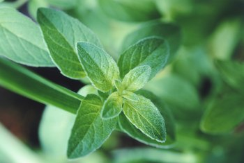 Several mint varieties repel insects such as mosquitoes and fleas.