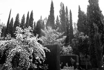 Towering Italian cypress makes a dramatic impression as a spiral topiary.