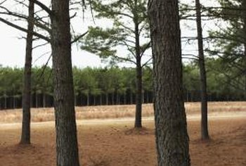 Young longleaf pines provide the most viable tip cuttings.