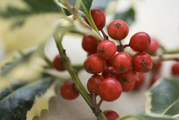 American and English holly are tall trees bearing clusters of berries.