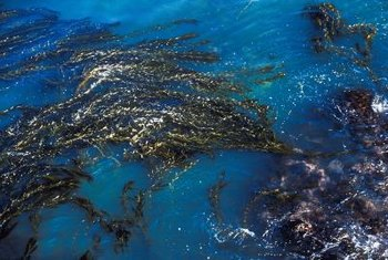 Kelp contains a moderate amount of sodium.