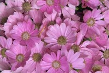 Pyrethrum flowers have yellow centers and can be pink, yellow, violet, white or red.