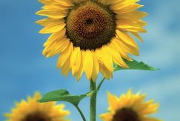 Sunflowers have a strong taproot and smaller secondary roots.