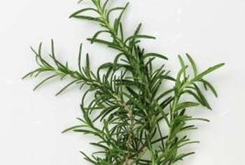 Rosemary is one of several herb plants with Mediterranean origins.