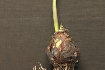 Keep bulbs cool, dark and dry until you are ready to plant.