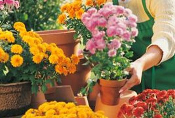 Mums benefit from regular pinching throughout the growing season.