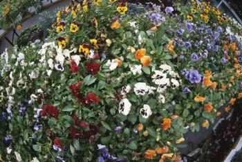 Pansies come in a rainbow of colors, including true blue.