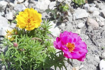 Moss rose needs direct sunlight for best growth and flowering.