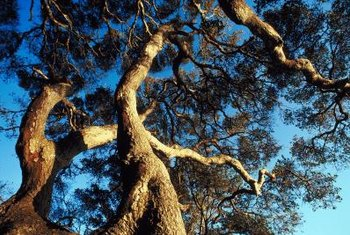 A live oak features sculptural, twisting limbs with plenty of leaves.