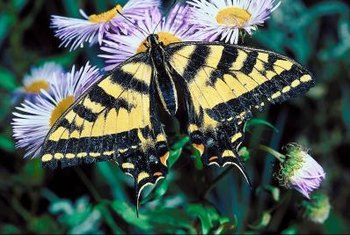 The caterpillar of the western tiger swallowtail butterfly is a known pest of cottonwood.