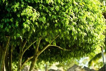 Weeping fig may reach heights up to 60 feet.