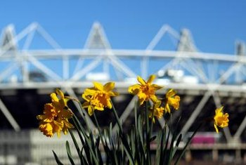 Sunny daffodil greeting from Olympic Stadium in London, England.