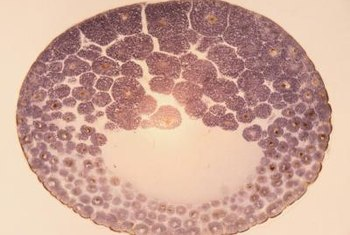 The fertilized egg undergoes several divisions before attachment to the uterus.
