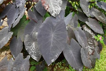 Before you plant it, make sure elephant ears isn't invasive in your area.