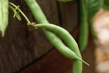 These beans would never have existed without sunlight's effects on the plants.