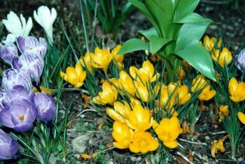 Crocus come in a variety of colors.