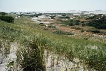 American beachgrass is one option for controlling sand erosion.