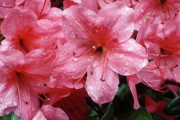 Encore azaleas' bright blooms accentuate evergreen leaves.