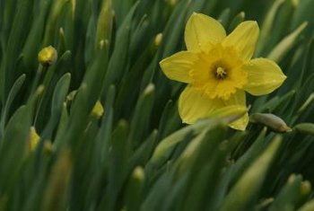 Daffodils are commonly yellow but may also be white and apricot.
