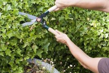 Pruning controls the size of established plants and trains the growth of young plants.