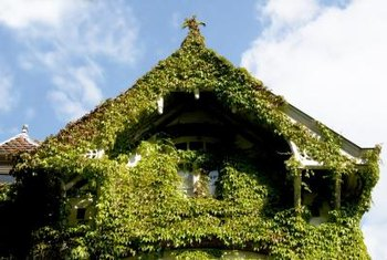 Ivy can help termites destroy a home.