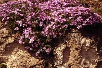 Creeping phlox is a useful groundcover.