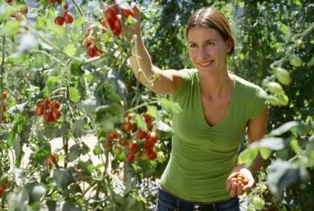 Healthy, happy tomato plants produce abundant fruits throughout the summer.