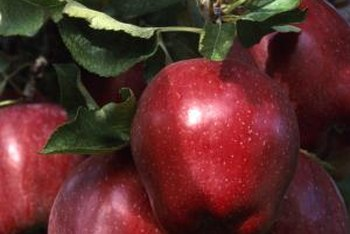 "The ""Red Delicious"" is recognizable by its large heart shape."