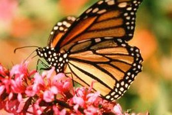 Attract butterflies with appealing flowers and herbs.