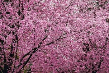 Ornamental plum trees grow in landscapes and gardens.