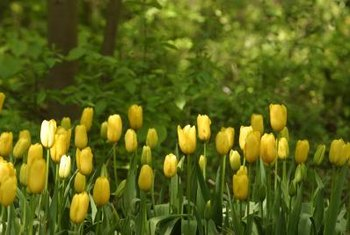Fungal diseases attack tulip bulbs.