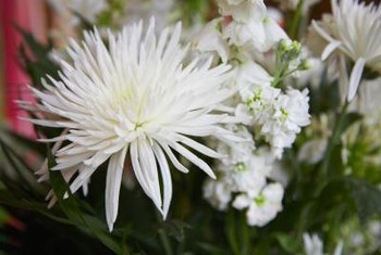 Spider style chrysanthemums often have large flowers.