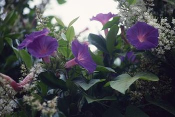 Without support, morning glories grow as spreading ground covers less than 6 inches tall.