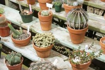 Cacti are often potted in terra cotta to encourage dry soil.