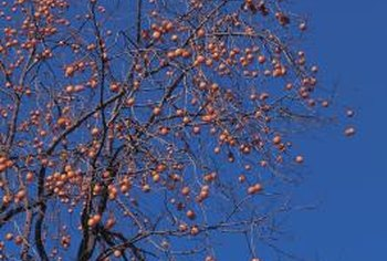 Persimmons produce orange fruits that ripen in the fall.