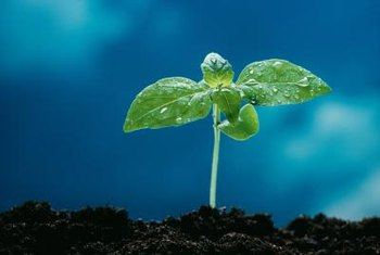 Seedlings that survive a damping off infection are generally weak and stunted.