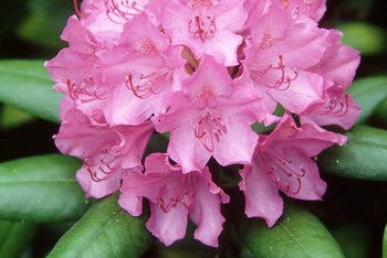 Overgrown rhododendrons can be tamed with strategic pruning.