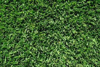 Zoysia grass produces thick, green growth.