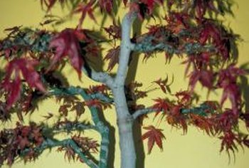 Dwarf decorative maples are commonly grown as bonsai plants.