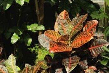 Croton houseplants feature bold color variegation and broad leaves.