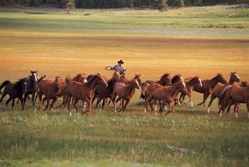Many horse and cattle ranches employ cowboys.