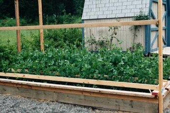A pea trellis is a structure built to allow the peas to climb upward as they grow.