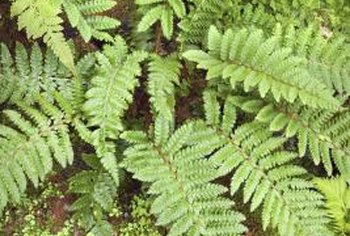 Ferns usually do not need Epsom salt when watered.