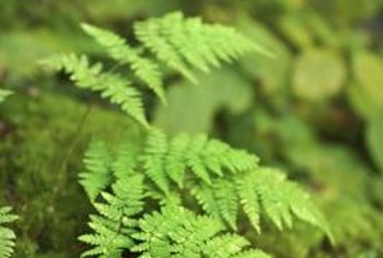 Divide clumps of ferns to propagate them.