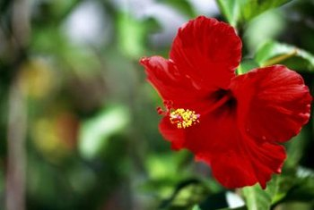 Hibiscus plants have showy flowers in many colors.