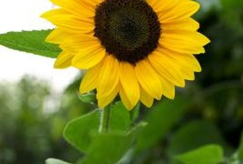 There are many varieties of sunflowers and an assortment of colors available.