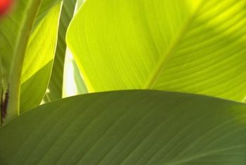 Canna leaves resemble banana leaves.